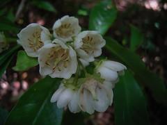 Anopterus macleayanus 6 (nbgact) Tags: australian national botanic gardens canberra act barry m ralley barrymralley dicotyledons