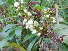 Anopterus glandulosus 3 (nbgact) Tags: australian national botanic gardens canberra act barry m ralley barrymralley dicotyledons