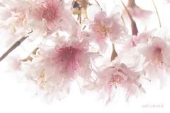 Pastel in nature (roelivtil) Tags: macromondays pastel prunus blossom pink highkey