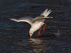 Urlaub - einfach mal abtauchen. (alterahorn) Tags: dxo olympusmzuiko300mm olympusomdem1ii olympus seevogel bird vogel seagull möwe