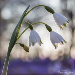Snowdrop! (karindebruin) Tags: bollen bollenvelden flowers instameet instameetholland keukenhof lisse nederland thenetherlands tulips tulpen zuidholland bloemen bulbs sneeuwklokje snowdrop