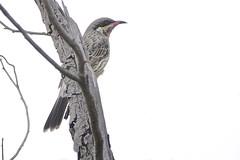 Spiny-cheeked Honeyeater (Rodger1943) Tags: honeyeaters spinycheekedhoneyeater australianbirds sonyrx10m4