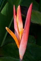 False Bird-Of-Paradise (peterkelly) Tags: digital canon 6d northamerica gadventures mayandiscovery mexico chiapas palenque mayabell falsebirdofparadise heliconiapsittacorum flower red orange
