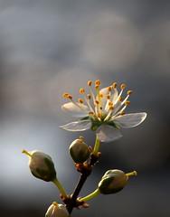 (skloi) Tags: pastel flower cherry blossom blüte frühling spring