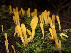 Orange EarthTongues (jmunt) Tags: fungi microglossumrufum orangeearthtongue mushroom microlandscape nature