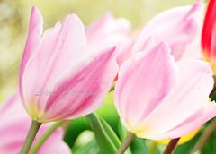 Tulip pastel pink (Arlenk.) Tags: macromonday pastel tulip pink theme arlenekato canoneos7d