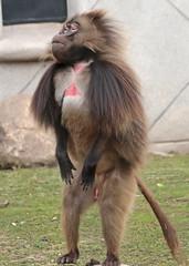Gelada Blijdorp 094A0666 (j.a.kok) Tags: animal africa afrika aap blijdorp mammal monkey gelada baboon baviaan roodborstbaviaan zoogdier dier primate primaat