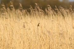 Soort rietzanger (?) (NLHank) Tags: nlhank 2019 canon eos 7d mkii eos7d2 7dii holland netherlands vogels birds rietzanger vogel bird wildlife natuur nature wieden dewieden riet