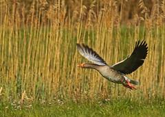 Grauwe gans (NLHank) Tags: nlhank 2019 canon eos 7d mkii eos7d2 7dii holland netherlands vogels birds vogel bird wildlife natuur nature wieden dewieden riet grauwe gans anser