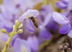 IL GLICINE E L'APE. (FRANCO600D) Tags: ape glicine polline fiore flower nettare macro hmm macromondays pastel colors coloripastello natura flora vita life microcosmo macrofotografia canon eos6dmarkii 6dmarkii canoneos6dmarkii canon6dmarkii franco600d insetto lilla
