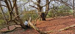 Le Hêtre des Batailles, un arbre impressionnant ! (Πichael C.) Tags: 140419 randonnée châtel st germain et plateau de rozérieulles rando balade promenade nature metz 57 moselle hike