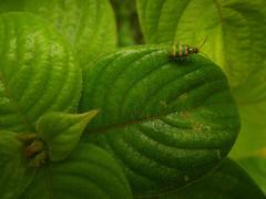 mussaenda com besourinho (abelhário) Tags: besouro mussaendaerythrophylla beetle torretje käfer inseto insect insekte insekt brasil brazil brazilië brasilien mussaenda mussaendavermelha neotropicalbeetles neotropicalinsects