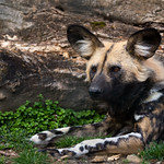 African painted dog thumbnail