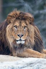 Barbary lion (Cloudtail the Snow Leopard) Tags: tier animal sã¤ugetier mammal cat big katze groãkatze raubkatze lion lã¶we panthera leo predator beutegreifer atlaslã¶we nubischer berber barbary male walter zoo gossau