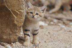 chat des sables (Bernardvinc) Tags: cat chat kitten mignon nice cute color nikon nikkor light portrait animal little petit chaton bébé