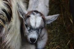 nella vecchia fattoria (susi_59) Tags: animali animals farm agnello