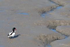 Shelduck (DanRansley) Tags: britain danransley danransleynet england gb greatbritain photography shelduck uk unitedkingdom animal bird birding conservation duck feather nature ornithology wildlife