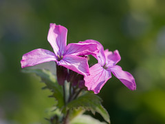Lunaria annua - HMM (de_frakke) Tags: macromondays pastel lunar flower bloem paars judaspenning