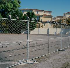 San Jose (bior) Tags: sanjose chainlinkfence fence birds hasselblad500cm hasselblad provia100f provia fujifilmprovia mediumformat slidefilm 120 square