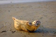 A seal washed a shore (filipmije) Tags: seal rob zeehond shore coast beach animal koksijde sintidesbald sand sea