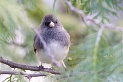 Dark-eyed Junco (Anne Ahearne) Tags: wild bird animal nature wildlife cypress cedar tree junco songbird birdwatching darkeyedjunco