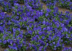 Pansies (Wolfgang Bazer) Tags: garden pansies pansy stiefmütterchen gartenstiefmütterchen keplerplatz favoriten wien vienna österreich austria blumen flowers