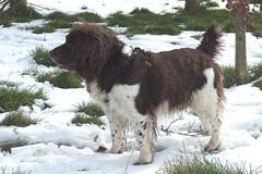 Benjy (billnbenj) Tags: benjy spaniel springerspaniel snow dog barrow cumbria