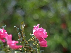 P1010023 -1r (hyphy2008) Tags: jupiter 8m f2 bokeh m43 flower garden