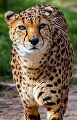 Cheetah gaze.. (mickb6265) Tags: chesterzoo chester cheshire uk england cheetah bigcat gaze