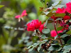P1010037 -1r (hyphy2008) Tags: zeiss sonnar 135mm f4 contax rf bokeh flowers garden