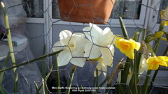 Mini-Daffs flowering on balcony seen from outside 15th April 2019 005 (D@viD_2.011) Tags: minidaffs flowering balcony seen from outside 15th april 2019