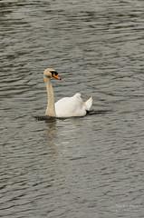 Shardlow swan (nickbarber56) Tags: pentax k5 ii 18270
