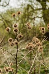 Shardlow seed heads (nickbarber56) Tags: pentax k5 ii 18270