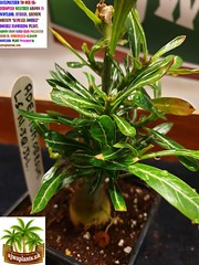 Photo of ACCLIMATIZED ADENIUM OBESUM  KAMALIA  DOUBLE   FLOWERING PLANT PRESENTED BY ajwaplantsuk.com (4)