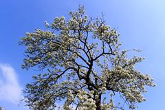 West-Betuwe: blossom time (H. Bos) Tags: leerdam betuwe westbetuwe lingeroute bloesem blossom voorjaar spring holland typischhollands