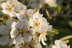 West-Betuwe: blossom time (H. Bos) Tags: beesd mariënwaerdt betuwe westbetuwe lingeroute bloesem blossom voorjaar spring holland typischhollands