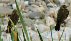 Red-winged Blackbird, Agelaius phoeniceus (asterisktom) Tags: mexico2019aprilmay mexico oaxaca 2019 april tehuantepec bird vogel ave 鸟 птица 鳥 pajaro redwingedblackbird agelaiusphoeniceus blacakbird