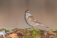 American Tree Sparrow (Joe Branco) Tags: forest macro nikond850 lightroom photoshop birds bird branco joe wildlifephotographer joebrancophotographer nikon americantreesparrow green