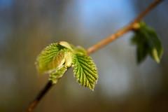 spring (Jos Mecklenfeld) Tags: leaf blad blatt lente spring frã¼hling forest wald bos nature natur natuur sonya6000 sonyilce6000 sonye30mmf35macro sel30m35 westerwolde niederlande frühling netherlands terapel groningen