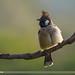 Himalayan Bulbul (Aves Tennantus)