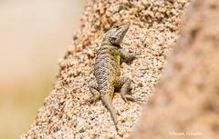 Sun bather (Photosuze) Tags: lizards reptiles animals nature wildlife spinylizards yellowbackedspinylizards sceloporusuniformis