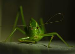 Katydid (m&em2009) Tags: katydid insect macro nature green cleaning feelers eyes ngc macrounlimited fantasticnature