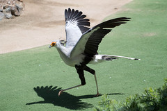 Secretary Bird. (LisaDiazPhotos) Tags: sandiegozoo sandiegozooglobal sandiegozoosafaripark sdzsafaripark sdzoo sdzsp lisadiazphotos secretary bird frequentflyerbirdshow