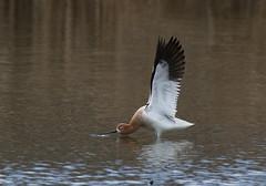 American Avocet (fethers1) Tags: belmarpark kountzelake coloradowildlife bird shorebird americanavocet