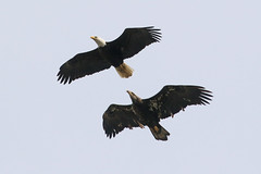 04152019Eagles 7T1A1665 (Steven Arvid Gerde) Tags: bald eagle