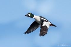 _7HB3391 (Hilary Bralove) Tags: colorado birds wildlife coloradobirds coloradowildlife blueherons cormorants shovelers birdsinflight