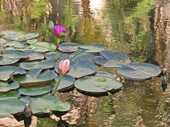 reflections... (mar-itz) Tags: flower water lillies balboapark california reflection agua reflejos flores leaf green colorful verde nature naturaleza thursdayflower quintaflower cute beautiful peace light sandiego