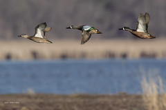 Teals on the Wing!       (enlarge for detail) (jackalope22) Tags: teals bluewing flight dof sweet marsh