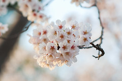 cherry blossoms (Christine_S.) Tags: flowers blossoms blossom flower japan sakura spring nature bokeh canon eos mirrorless ef100mm macro