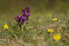 L'orchis bouffon (Anacamptis morio) Goux Sous Landet (francky25) Tags: lorchis bouffon anacamptis morio goux sous landet orchidée sauvage orchids franchecomté doubs flore botanique